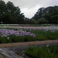 霧雨の菖蒲園。