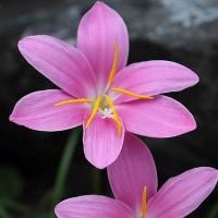 ピンク色のお花・・・☆