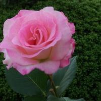 近所の花壇で咲くピンクのバラ