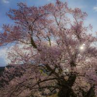 清水の桜 Ⅸ