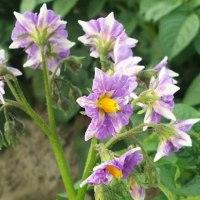 ジャガイモの花が美しい