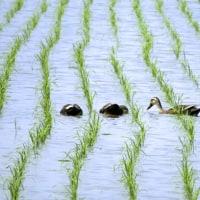 ☆☆☆ 喉をからす畑の作物/少なからず生態系に異常が起こって...~火曜日・・・