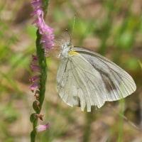 白い蝶はネジバナの蜜を吸う・ムラサキシキブの花咲く
