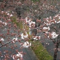 市内の桜開花状況