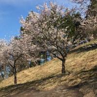 残雪と桜満開