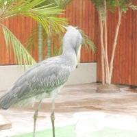 掛川花鳥園でハシビロコウ