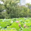 蓮の花からみる上野の風景です