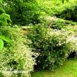 「相模原公園」に鐘形状の可愛らしい花「アベリア」
