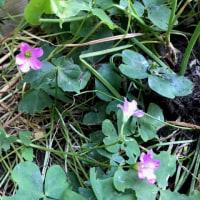 庭の花たち 21  カタバミ