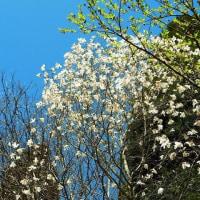 タムシバ(白い花で春を告げる)