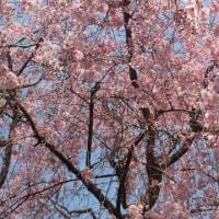 まだまだ桜
