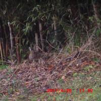 裏山に野兎がいます。