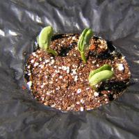 とうもろこし栽培2017年発芽した、コンパニオンプランツ害虫忌避枝豆も発芽防風対策した