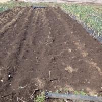 ジャガイモ2017:植え付け