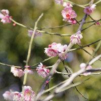 梅と早咲きの桜