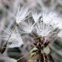 タンポポの綿毛(霜模様)