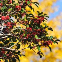 冬になると赤い実をつけた木々が目立つようになりますね。 (Photo No.13867)