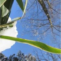 黄色の新芽が落ち葉を分けて福寿草。   17・2月19日