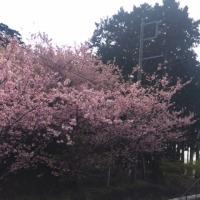 河津桜、、、?