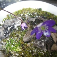 山野草が好きです。 (^^)