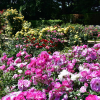 福岡市植物園からバラ祭りp1(D5500,18-140mm)