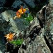 海岸岩壁のスカシユリ