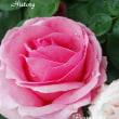 薔薇の園  * 2017 *  Vol.43 * ヒストリー *