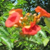 凌霄花(のうぜんかずら)という花