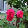 夏薔薇(7月15日)