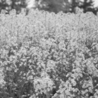 晴れのち雨の菜の花畑