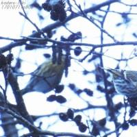 野鳥との出逢い♪  渓谷のマヒワ