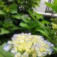 シャンソン歌手リリ・レイLILI LEY  花達に囲まれてシャンソンフランス語人生満喫