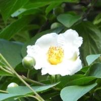 梅雨時に咲くナツツバキ