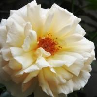 白い薔薇♪