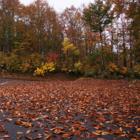 ブナの葉が散る