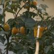 果実採集機ラクポン