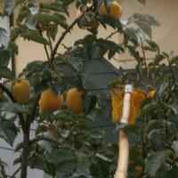 果実採集機