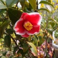やっと、椿 玉之浦が咲いた。