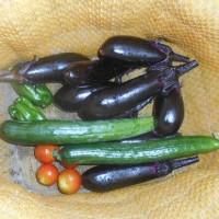 夏野菜が本格的に採れるようになりました
