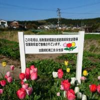 チューリップ咲いていますよ〜!