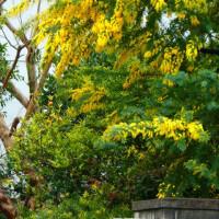 『春の色』 ミモザ
