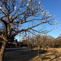 水元公園 梅の花がキレイ!