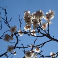 梅の花は、綺麗でした~敷島公園