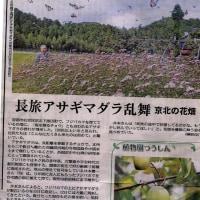 京都北部のフジバカマ生育地にアサギマダラが集う