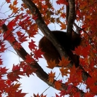 紅葉に目が しかしレッサーパンダ