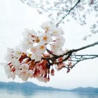 待ち遠しい、桜