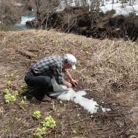 春の山菜採り・一回目@2017