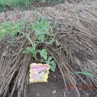 2017年5月24日:スイカの苗を再度植えました。