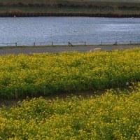 ☆ 菜の花の絨毯で空へ