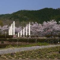 八百津・人道の丘公園の桜